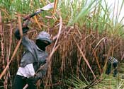 Sugarcane cutter, ethanol plantation worker